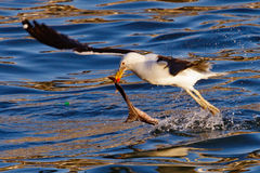 Seagull feeding at the sea Royalty Free Stock Photo