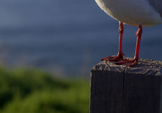 Seagull feet Stock Image