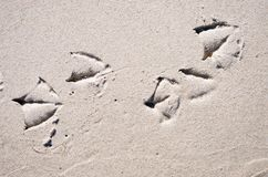 Seagull feet prints in the sand Royalty Free Stock Photos