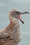 Seagull. Female Gull With Open Mouth Stock Photos
