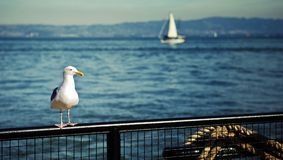 Seagull on Fence Royalty Free Stock Image