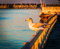 Seagull on a fence at Ocean City, Maryland. Royalty Free Stock Photography