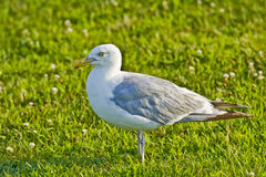 Seagull on field. A closeup of a seagull, standing in a field Royalty Free Stock Photo