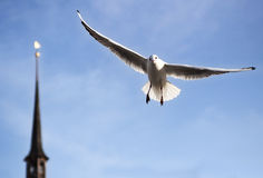 Seagull in fight. Beautiful white seagull in flight over the Zurich lake Stock Photography