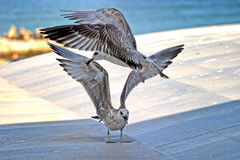 Seagull fight Royalty Free Stock Photo