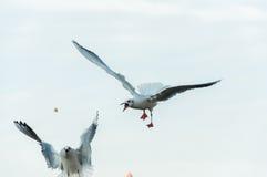 Seagull fight Stock Photos