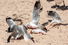Seagull fighting for food on the beach Royalty Free Stock Photo