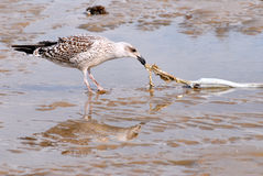 Seagull and fish. Seagull eating a fish died on the sand Royalty Free Stock Image