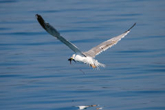 Seagull with fish in beak. A seagull flying above the water and holding a caught fish in his beak Royalty Free Stock Images