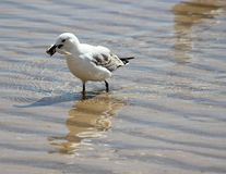 Seagull with fish carcass. A seagull hurries off with a fish carcass it has found in the shallows Royalty Free Stock Photo