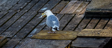 Seagull with Fish Stock Image