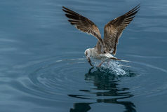 Seagull and Fish Royalty Free Stock Image