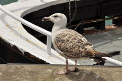 Seagull in a Fishing harbour. Stock Images