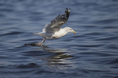 Seagull fishing Royalty Free Stock Photos