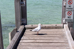 Seagull on Fishing Jetty Augusta West Australia Royalty Free Stock Photography