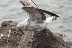Seagull with fishing line on its legs. A white seagull on the shores of Lake Michigan is trapped in discarded fishing line Stock Image
