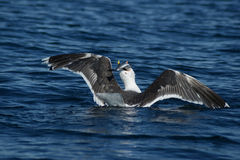 Seagull Fishing Stock Image
