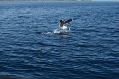 Seagull Fishing Stock Photos