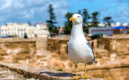 Seagull at the Fishing Port of Essaoura, Morocco Royalty Free Stock Image