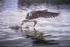 Seagull Fishing On The Sea Royalty Free Stock Photography