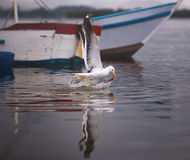 Seagull Fishing On The Sea Royalty Free Stock Photos