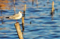 Seagull fiskmås, Brunt-hövdad fiskmås, fågel Royaltyfria Foton