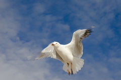 Seagull flapping Stock Photos