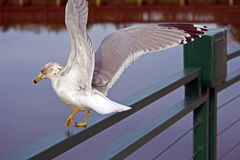 Seagull flapping wings Royalty Free Stock Image