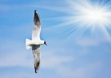 Seagull flies Royalty Free Stock Photos