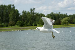 Seagull Flies. The seagull flies in the blue sky stock photography