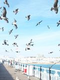 Seagulls flying at the sea royalty free stock images