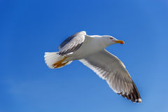 Seagull flies against the blue sky Royalty Free Stock Image