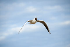 Seagull flies. Royalty Free Stock Photo