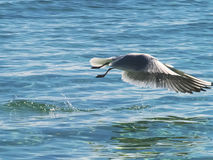 Seagull flies fast over the surface of ocean Stock Image