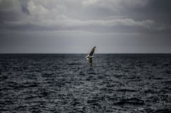 Seagull flies free stock image