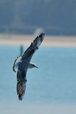 Seagull flies in front of a beach with open wings Royalty Free Stock Images
