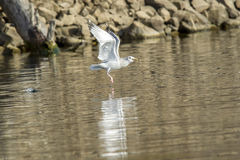 Seagull flies off with caught fish. Royalty Free Stock Image