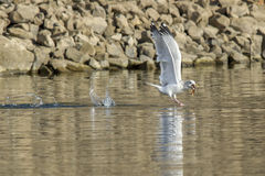 Seagull flies off with fish in beak. Royalty Free Stock Images