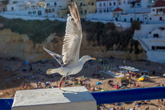 Seagull flies over the beach in Carvoeiro royalty free stock photography