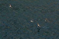 Seagull flies over Black Sea near the coast of Crimea Royalty Free Stock Photo
