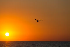 Seagull flies over the sea against the background of an orange sunset.  Stock Photo