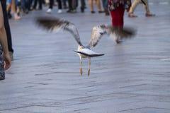 Seagull flies between people Stock Photos