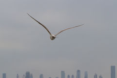 Seagull flies toward Skyline Royalty Free Stock Photography