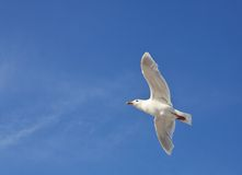 Seagull in flighh - Glaucous Gull Royalty Free Stock Photos