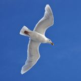 Seagull in flighh - Glaucous Gull Stock Images