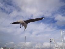 Seagull in flight. Taken in Cape Town at the V&A waterfront shows a cape Seagull taking off Royalty Free Stock Photos