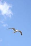 Seagull In Flight Stock Image