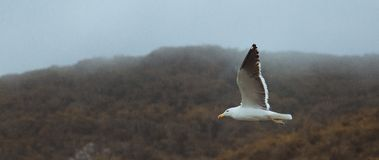 Seagull on Flight Stock Image