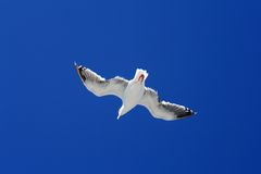 Seagull in Flight. Closeup of a seagull in flight with a perfect blue sky as the backdrop Stock Photos