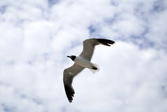 Seagull in Flight. A seagull is hovering in the blue sky Stock Photos
